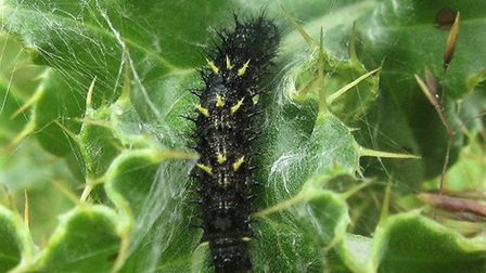 Painted lady caterpillar Picture: Kevin Ling