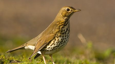 The thrush - once a familiar sight in gardens now in rapid decline. Picture: Nicholas Brown