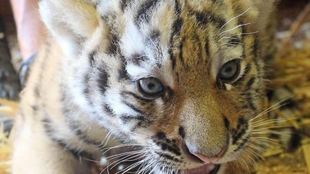 The tiger cubs are settling into their home at Colchester Zoo. Picture: COLCHESTER ZOO