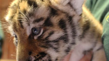 The three tiger cubs include two males and one female, and are now ready to be seen by the public. P