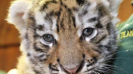 Colchester Zoo is asking for the publics help in naming its three tiger cubs. Picture: COLCHESTER ZO