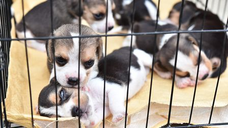 The RSPCA is reporting a dramatic increase in complaints against puppy farms Picture: GETTY IMAGES/i