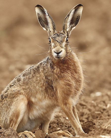 Hare coursing gangs travel to East Anglia because of the high number of hares in the region Picture: