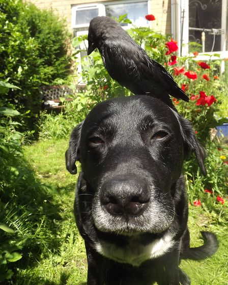 Bowza let Bondi the Jackdaw perch on his head Picture: DON COX