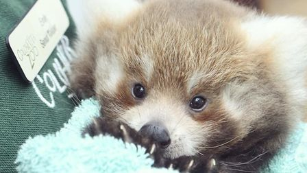 A rare picture of one of the adorable red panda cubs at Colchester Zoo Picture: COLCHESTER ZOO