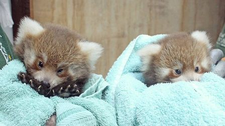 The two red panda cubs at Colchester Zoo have recently had a health check Picture: COLCHESTER ZOO