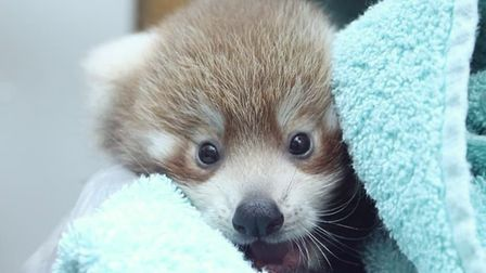 It will still be a little while until visitors to Colchester Zoo can see the panda cubs Picture: COL