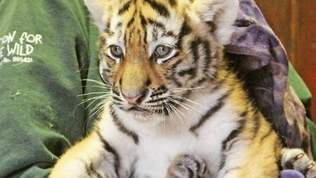 Three tiger cubs at Colchester Zoo have been named after a public vote Picture: COLCHESTER ZOO