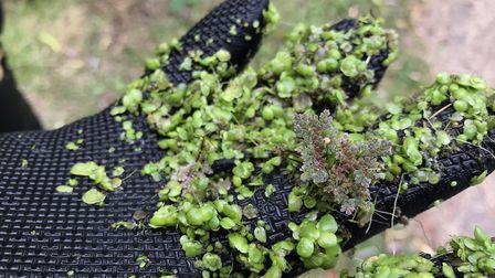 Invasive azolla and duck weed Picture: ENVIRONMENT AGENCY