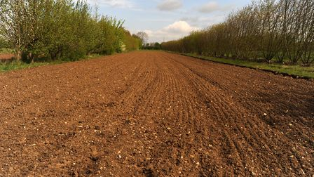 Agroforestry in action on a field in north Suffolk Picture: SIMON PARKER