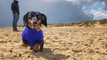 Hector the miniature dachshund on a walk in Southwold Picture: LAURA SUMMERS