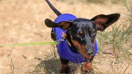 Hector the miniature dachshund on a walk in Southwold