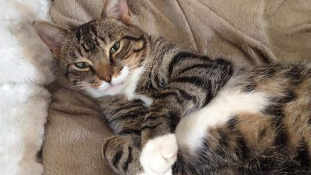 The RSPCA is appealing for information after three cats died from suspected poisoning. Pictured is O