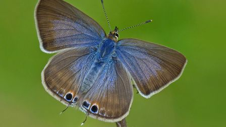 Long-tailed blue (female) Picture: Neil Hulme