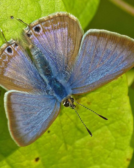 Long-tailed blue (male) Picture: Neil Hulme