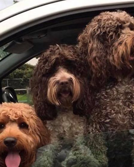 Ipswich Cockapoo trio Charlie, Beau and Buddy Picture: Sharon Collins