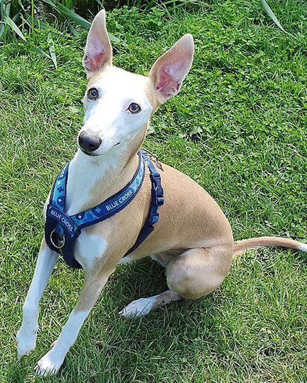 Nutmeg the whippet enjoys her walks at the Dales in Ipswich or Nacton Shores. Picture: Melanie Robin