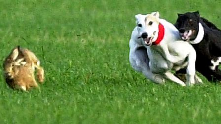 Hare coursing Picture: MICHAEL HALL