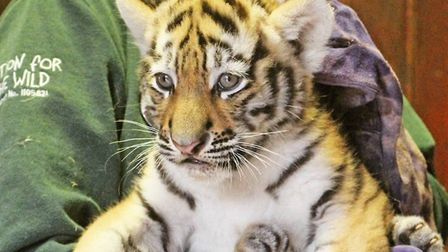 It is an exciting week at Colchester Zoo as the three tiger cubs will feature on TV along with their