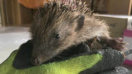 One of the hedgehogs at the Suffolk Prickles sanctuary Pixcture: UK POWER NETWORKS