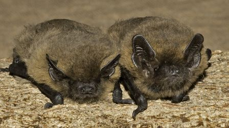 Bats are causing problems for churchgoers in Suffolk villages. Picture: HUGH CLARK/www.bats.org.uk