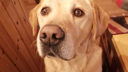Charlie the Labrador has become a YouTube star Picture: HEIDI FARROW