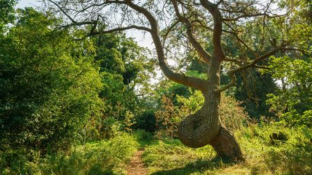 A Scots pine in Thetford, Norfolk, is one of the contenders vying to be named England's Tree of the