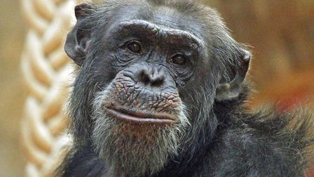 Pippin the chimpanzee was one of the zoo's beloved animals who sadly died on Monday, September 9. Pi