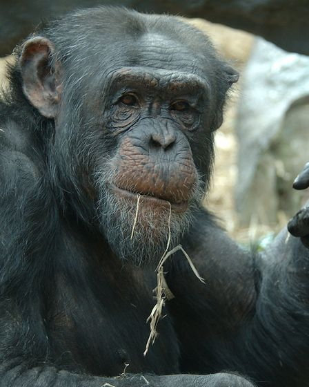 Pippin was at Colchester Zoo for 27 years after arriving at the age of 6 in 1992. Picture: DEBBIE PA