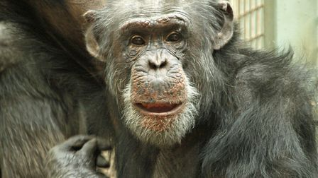 Pippin the chimpanzee has died aged 33 at Colchester Zoo. Picture: DAVID MARSAY