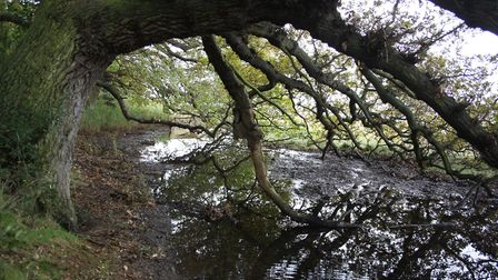 Oak boughs over the water at Harkstead