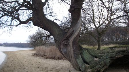 Twisted oak on the beach at Nacton