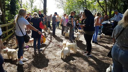 Westie dogs takeover High Woods Country Park. PICTURE: RACHEL EDGE