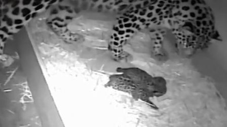 Esra the Amur leopard with her two new cubs at Colchester Zoo. Picture: COLCHESTER ZOO