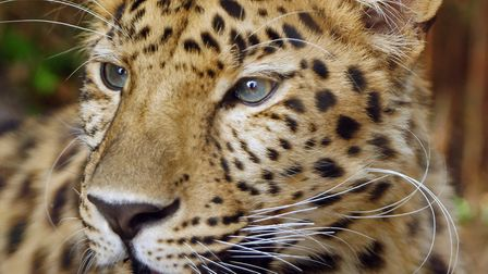 Crispin the Amur leopard, father of the new cubs at Colchester Zoo. Picture: BARBARA MEYER