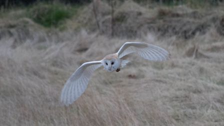 A barn owl in flight over the bowling green in Melton Park, which is proposed for housing, pictured