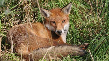A fox was chased into a pipe in Debenham (library image) Picture: MARGARET HOLLAND