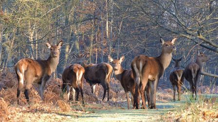 Red deer hinds and calves at Minsmere. Picture: CHARLES CUTHBERT