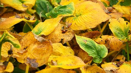 A beautiful autumn morning at Fairhaven woodland and water gardens. Hosta leaves. Picture: Archan