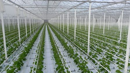 Two vast greenhouses will be built in Norfolk and Suffolk, capable of producing 12pc of the UK's tom