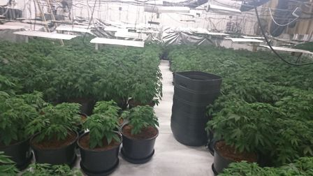 Essex Police have discovered close to 500 cannabis plants in an address in Great Bentley Picture: ES