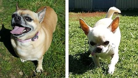Precious and Chino, the 6 and 7 year old Chihuahuas, were rehomed in Suffolk in 2019 Picture: SUFFOL