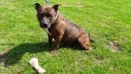 Roxy the eight-year-old Staffordshire bull terrier Picture: RSPCA