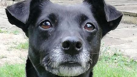Harris the eight-year-old Patterdale terrier Picture: RSPCA
