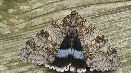 The Clifden nonpareil moth, whose name means beyond compare Photo: Mark Parsons/Butterfly Conserva