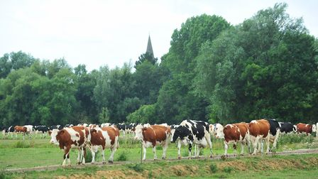 Dairy cows at Fen Farm Picture: NICK BUTCHER