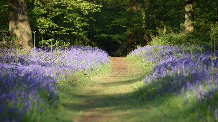 Bluebells at Essex Wildlife Trust's Weeleyhall Wood nature reserve in Tendring. Picture: Emily McPar