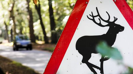 Suffolk could see a rise in car crashes involving deer as we enter peak season Picture: SIMON GURNE