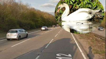 A swan has casued delays on the A12. Picture: GOOGLE MAPS