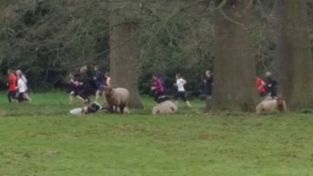 Runners and sheep: Nowton Park, the setting for the Bury St Edmunds parkrun. Picture: BURY ST EDMUND